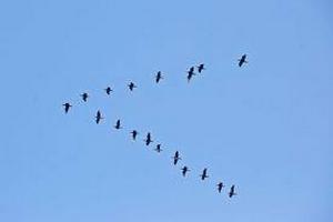 09-oiseaux-migran
